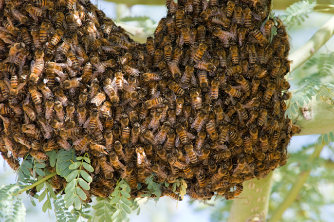 A desert hive of Africanized honey bees.