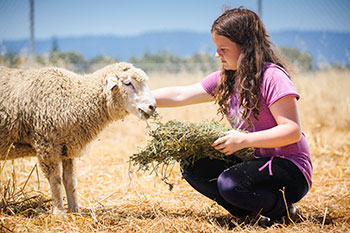 A 4-H student tends her sheep