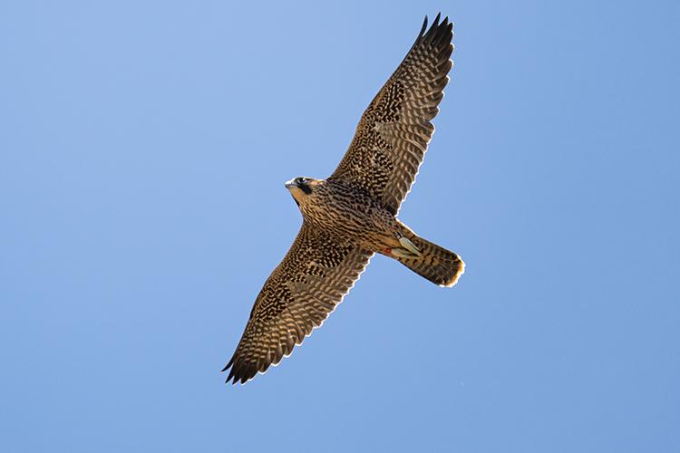 Fauci, a young peregrin falcon, takes flight