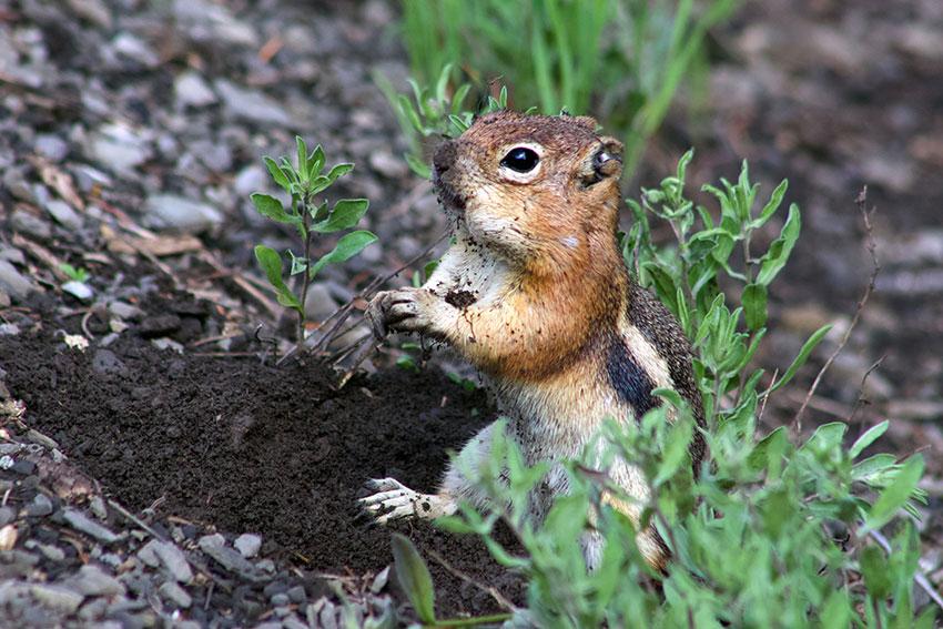A golden-mantled ground squirrel