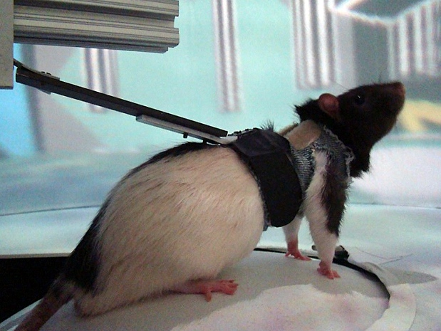 rat on treadmill