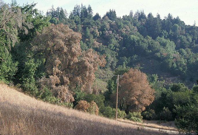 Trees killed by sudden oak death