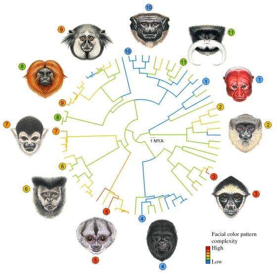 Faces of male primates