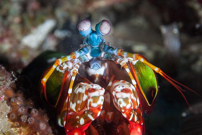 Mantis Shrimp Stronger Than Airplanes University Of