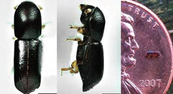 Ambrosia beetle photographs and beetle next to a penny