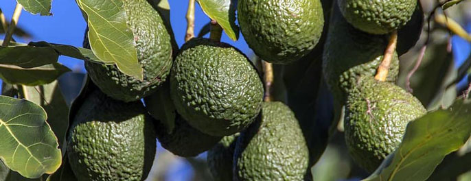 Healthy avocados on a tree