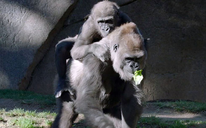 Leslie the gorilla with her mom