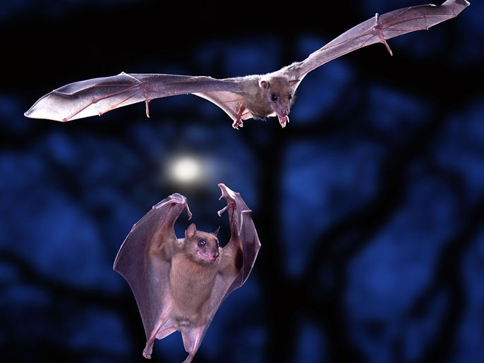 Two bats flying together