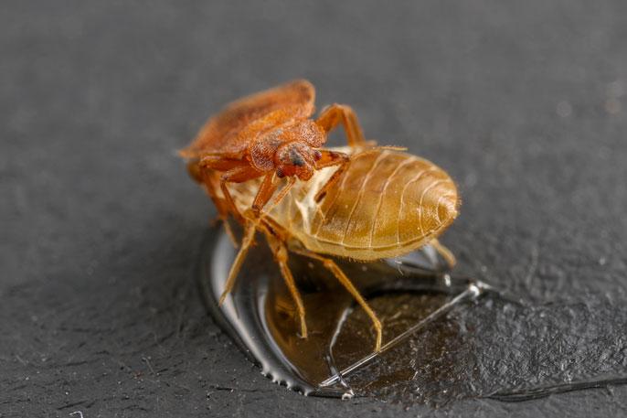 Bedbug UC Riverside