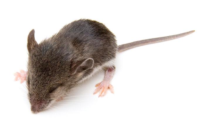 sleeping mouse (iStock)