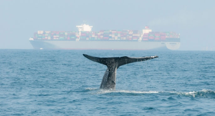 UC Santa Barbara blue whale cargo ship