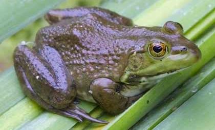 Bullfrog sitting on leaf