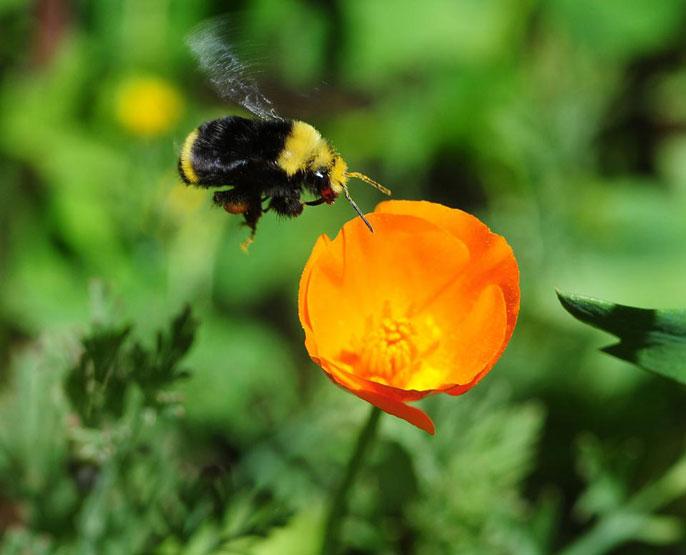 UC Davis bumblebee