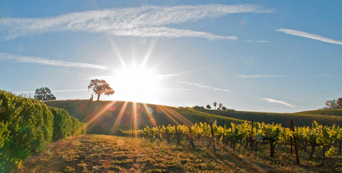 Vineyard in the late afternoon sun