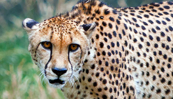 Cheetah UC Santa Barbara