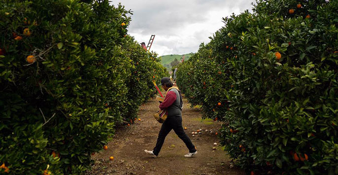 A man walking in a citrus grove