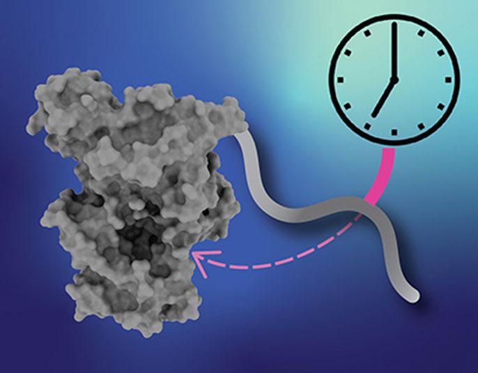 Clock protein illustration