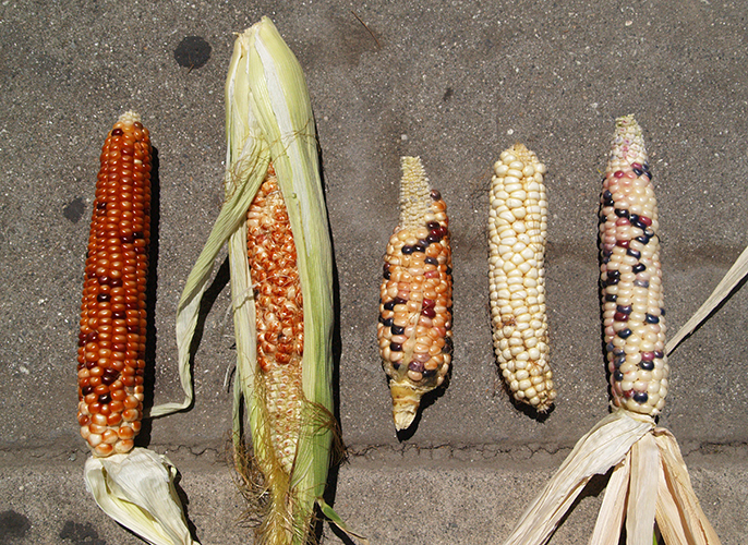 A sampling of the diversity of corn found in Southern California urban gardens.