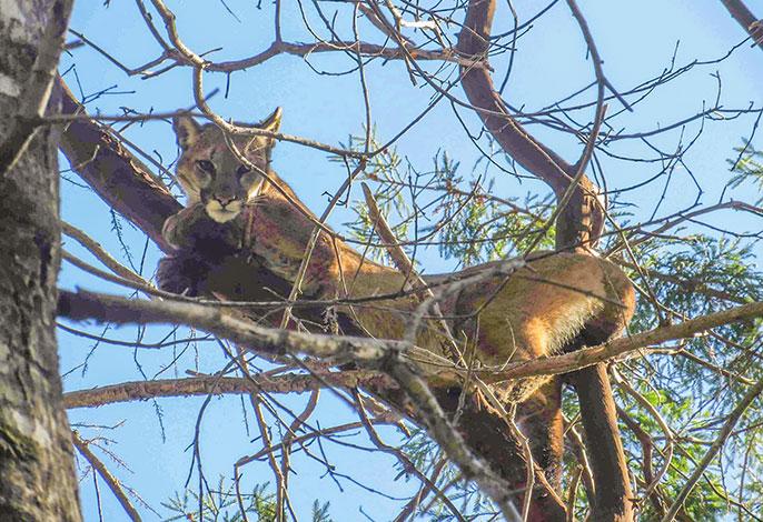 Cougar 46m
