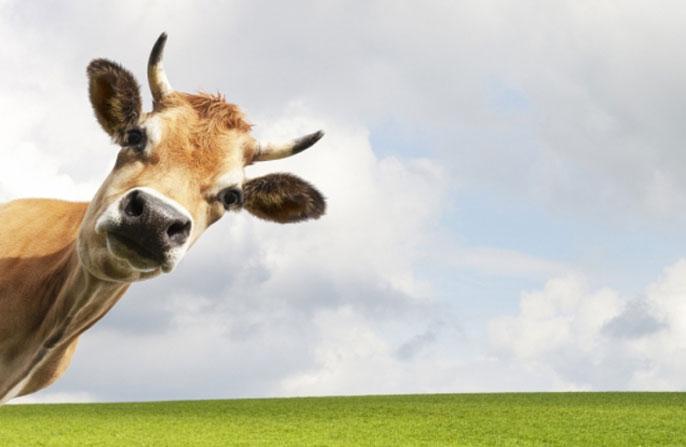 Cow looking at a camera