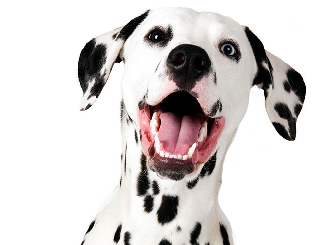 Dalmatian UCLA research