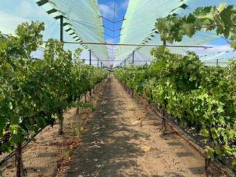 Grape vineyards under shade screens