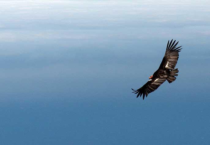 California condor (UC Davis)