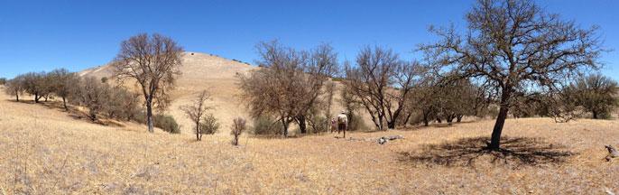 dead oaks California
