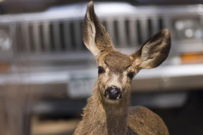 UC Davis deer study