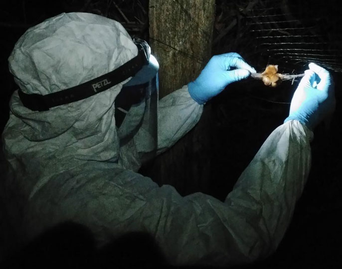 Scientist in hazmat suit holds bat
