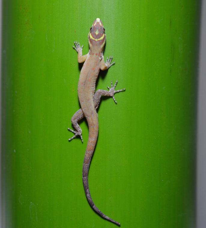 Gecko feet UC Riverside