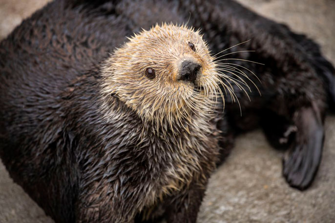 Gidget the sea otter