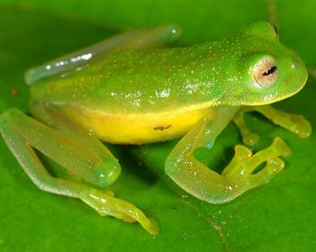 Amazonian glass frog