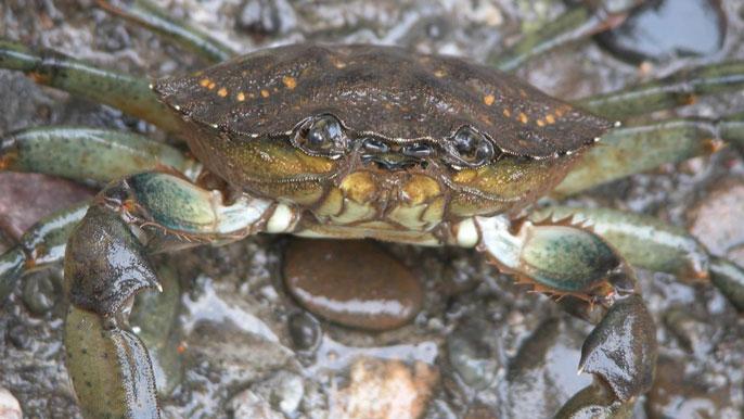 Green crab face