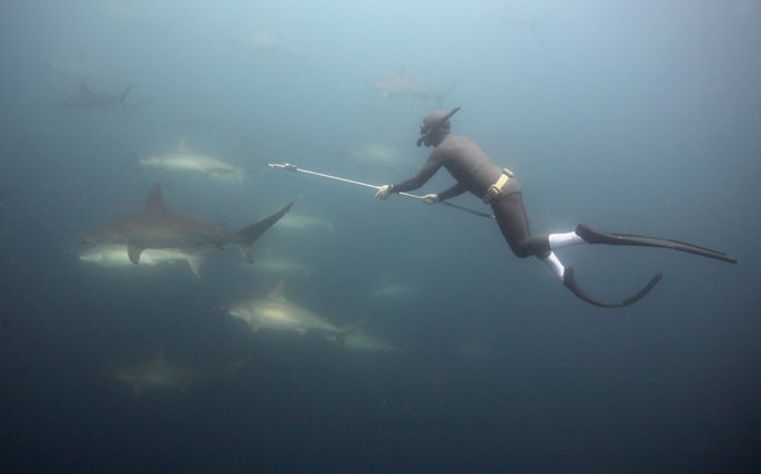 man swims in a cloud of hammerheads