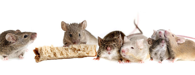 A row of content mice