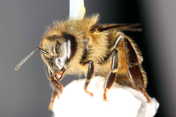 Honey bee pesticide