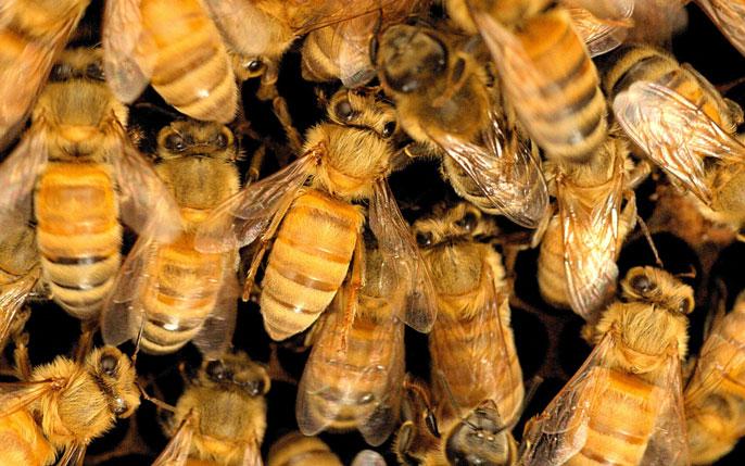 Pile of honeybees
