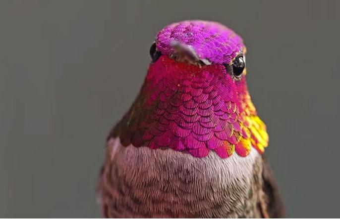 Hummingbird UCLA