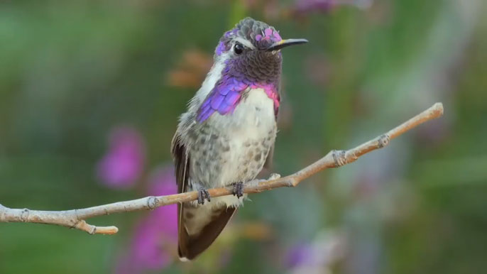 UC Riverside Costa's Hummingbird