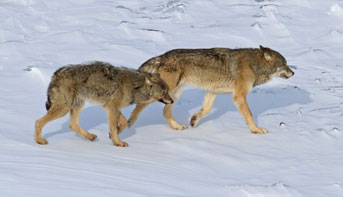 wolves at Isle Royale