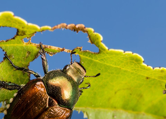 A Japanese beetle munches a leaf.