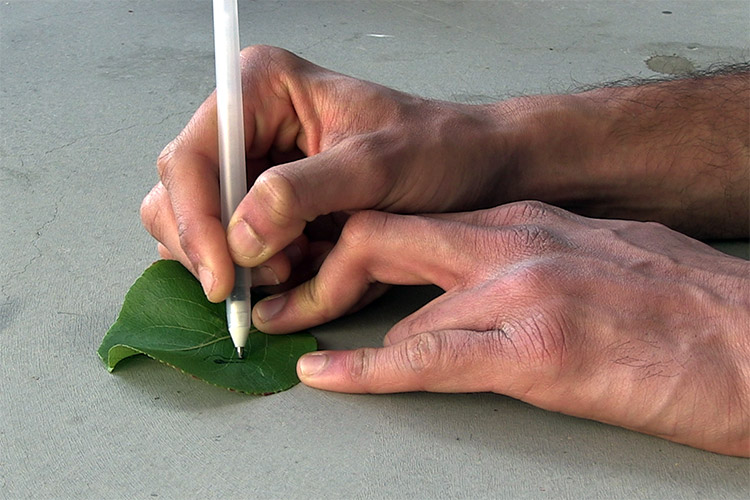 Joseph Wang draws sensor on leaf