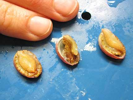 juvenile abalone