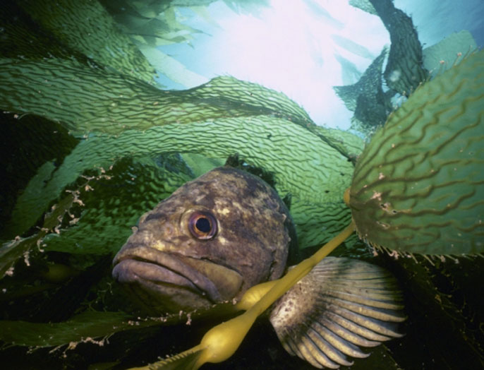 Rockfish in among kelp