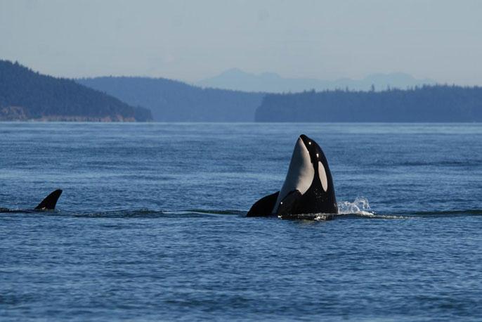 Killer whale UC Davis