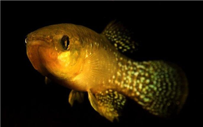UC Davis killfish
