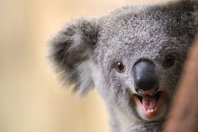 Koala laugh