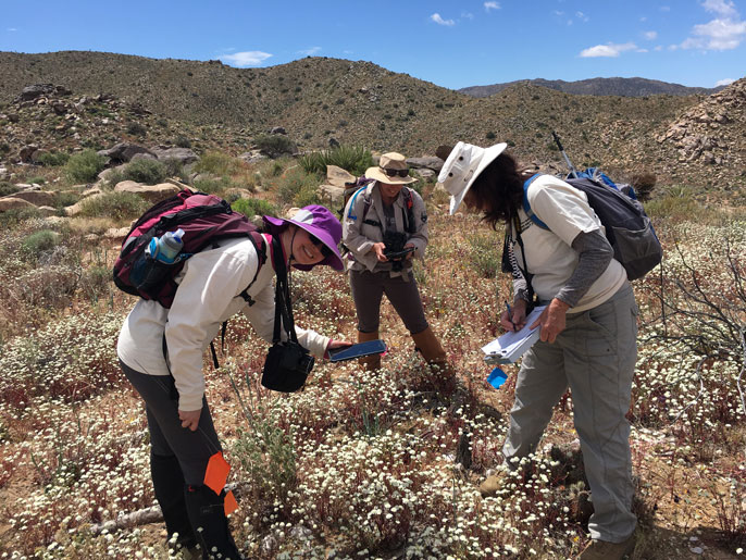 Lynn Sweet and volunteers measure a dead Joshua tree