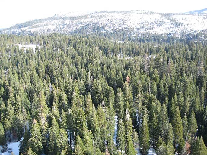 trees in Sierra Nevada